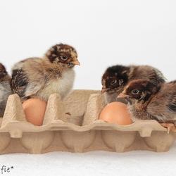 Little Chickens *