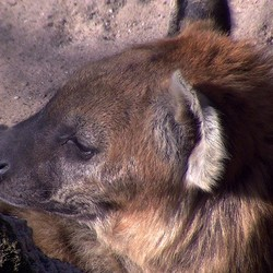 Just a lazy hyena afternoon...