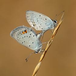 staartblauwtje parend