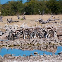 Groep drinkende Zebra's