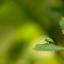 Zijdeglansbladsnuitkever