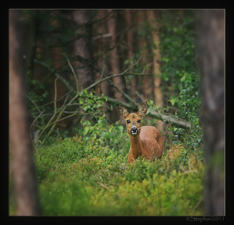 Reegeit tussen de bosbessen struikjes - Deze kwam ik ook nog tegen in het archief.<br /> Foto is dit jaar gemaakt.<br /> Groetjes Stephan