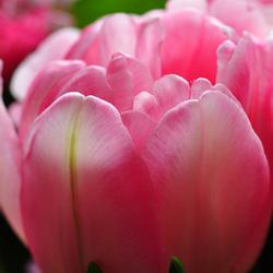 Tulpenfeest compleet!