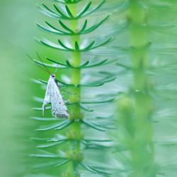 Kroosvlindertje