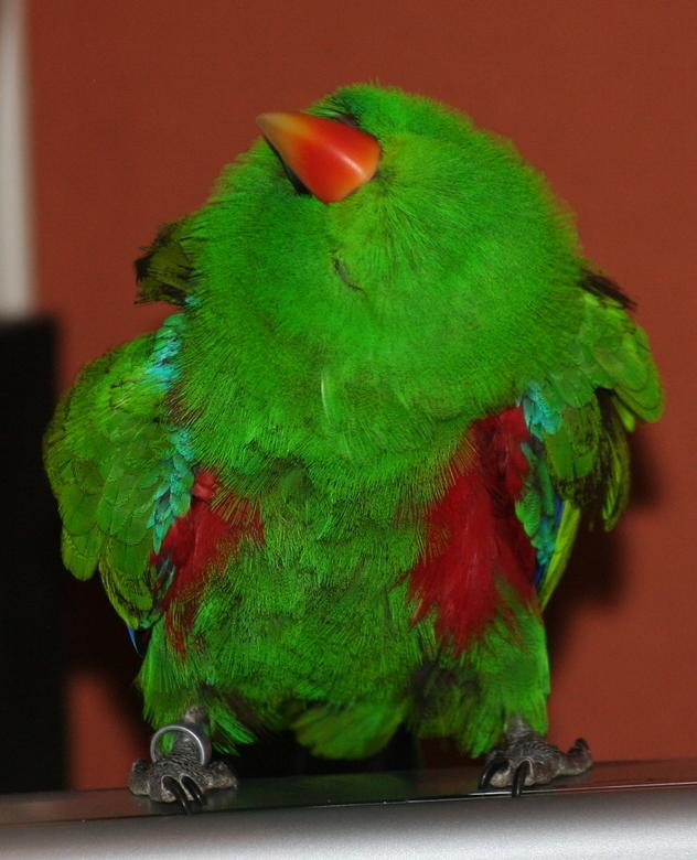 Even de veren rechtleggen - Precies op het juiste moment afgedrukt bij de papegaai van een kennis van me. Dit soort momentjes duurt meestal maar een h
