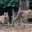 imagejacht luipaarden