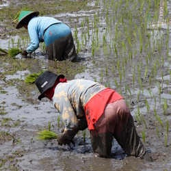 synchroon rijst planten