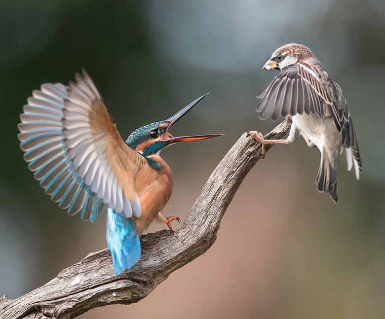 wegwezen - Dat de \Huismus daar landde was tot ongenoegen van de IJsvogel en dat liet zij merken ook.