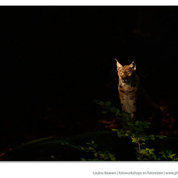 Lynx in the morning light