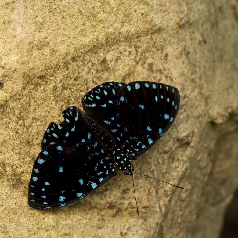 Hamadryas laodamia - Een soort die je niet veel ziet in de vlindertuinen