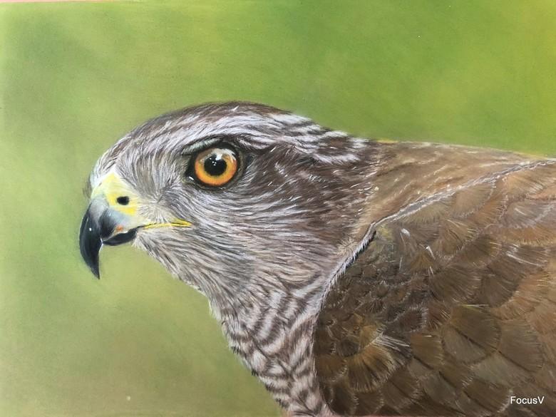 Portret tekening - Mieke maakte deze schitterende portret tekening van een Havik (wijfje). Zij gebruikte als voorbeeld een foto van mij.