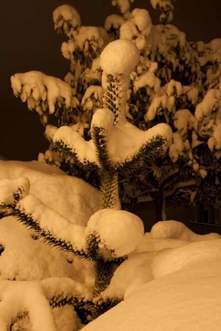 besneeuwde apenboom - de apenboom in onze tuin op De (besneeuwde) Hoop