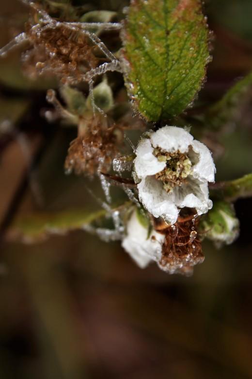 winter bramen - bramen bloem in januari met rijp bedekt de natuur is helemaal van slag<br /> 21-1-2020