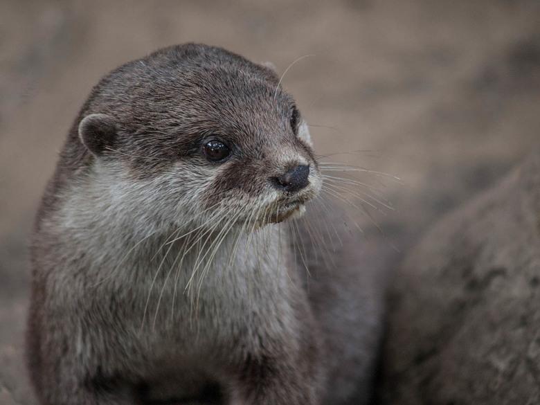 Otter -