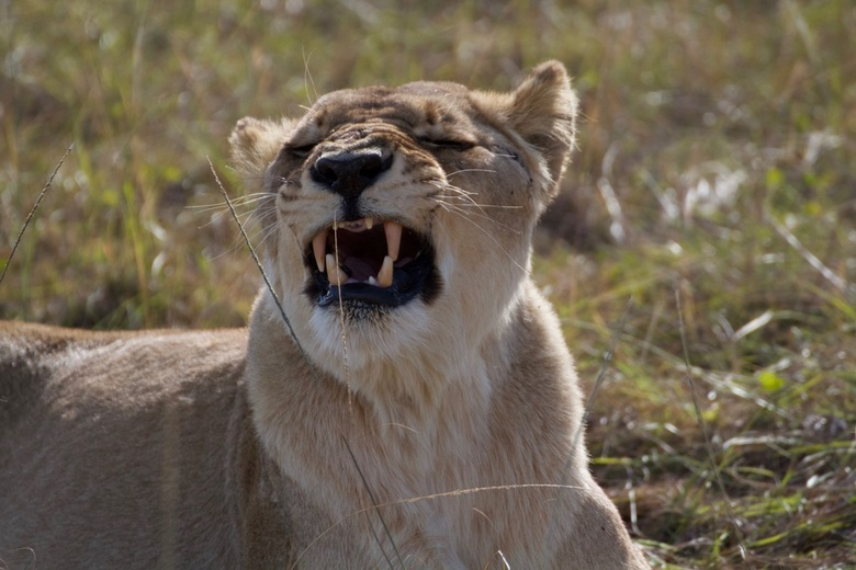 mama is boos - Deze leeuwin liet duidelijk zien wie de baas is in het reservaat