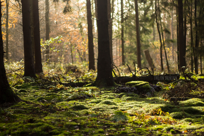 Forest Morning -