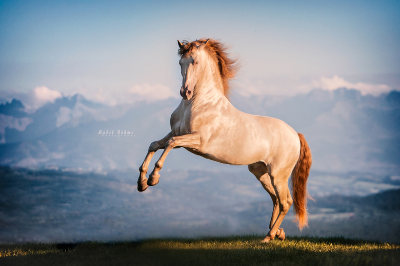 D A N Z A N T E  - Golden PRE stallion with the mountain view in Poland