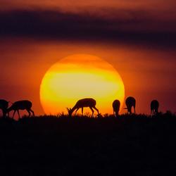 Springbokken bij zonsopgang
