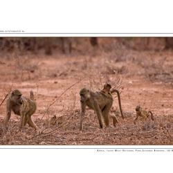 Savanna Baboons, Kenia