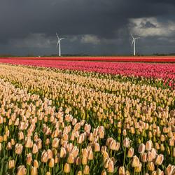 tulpen land