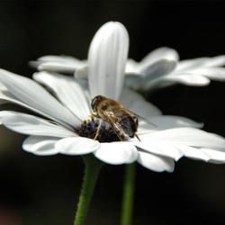 Horzel op bloem