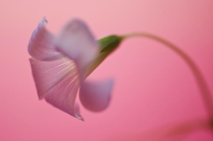 """pink ribbon - Een geluksklaverbloemetje tegen een roze achtergrond. Hopelijk brengt hij iedereen heel veel geluk! <img  src=""""/images/smileys/smile.png"""