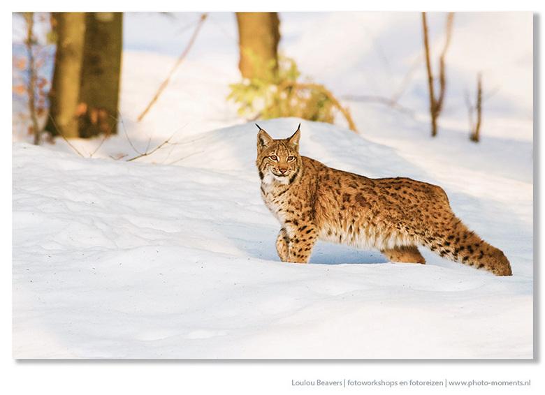 Lynx - Een jonge lynx in het Beierse woud.