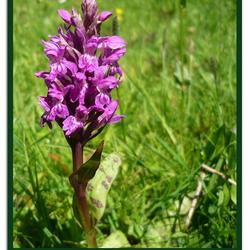 wilde orchide