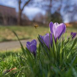 Krokussen de lente begint