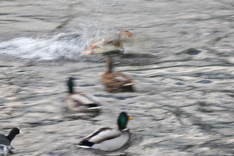 'waterplezier' - spetterende eenden.