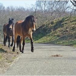 duin paardjes