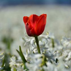 Eenzame tulp in hyacintenveld