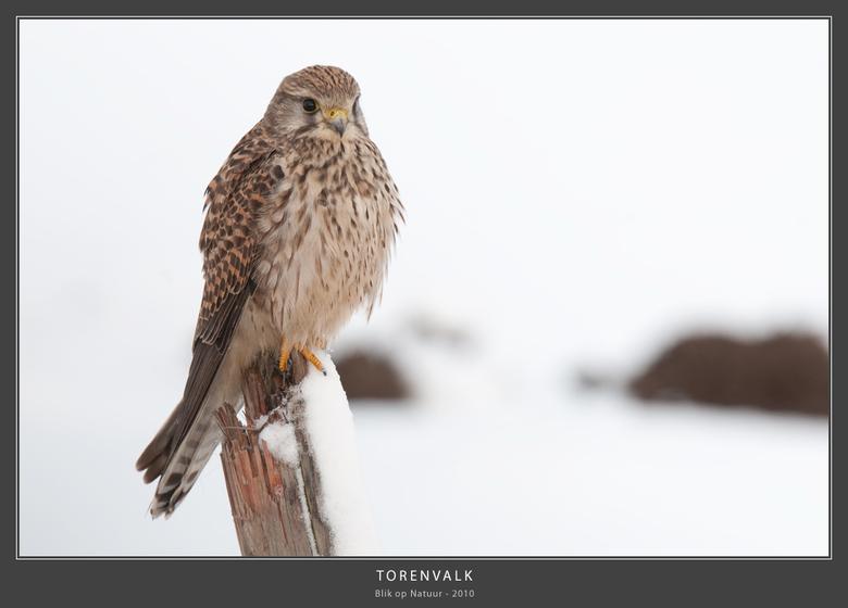 Torenvalk (dame) - Wat: Torenvalk (Falco Tinnunculus). Het mannetje van de Torenvalk is kleiner dan het vrouwtje. Het is de enige roofvogel met een ov