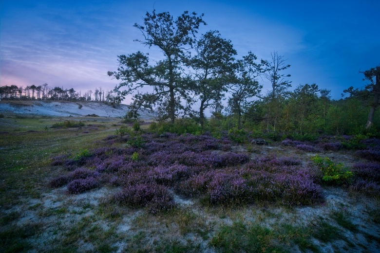 Schoorl heathers HDR - End of August is the best time to see the full purple heather in Netherlands. Most goes to Posbank but I found this nice park j