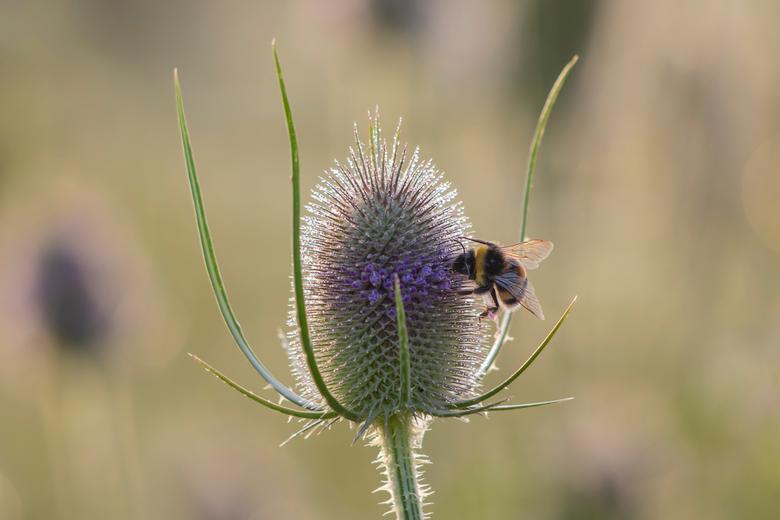 Hommel op bloeiende kaardebol - Veel kaardebollen en hommels in het veld. Eerst deze bol met mooie herhaling in de achtergrond geselecteerd, daarna ge
