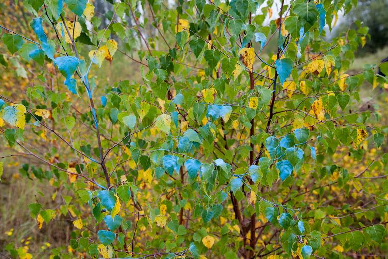 Blauwe bladeren -