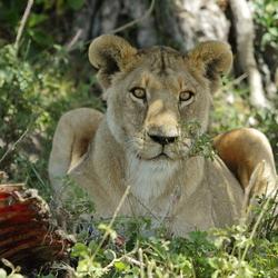 leeuwin met waterbuffelkarkas