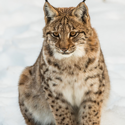 Portret jonge Lynx