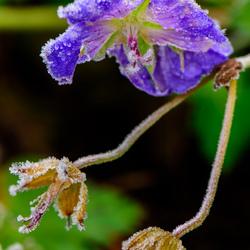 IJs bloem