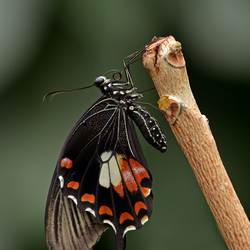 Papilio polytes via WIFI