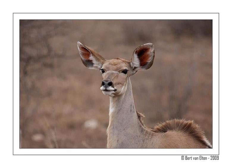 Koedoe - Zuid Afrika - Bekijk mij even groot voor de details...<br /> <br /> De &quot;Greater Kudu&quot; is een algemeen voorkomende antilope in Zui
