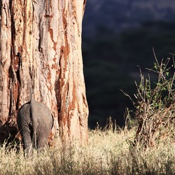 Little elephant at a big tree