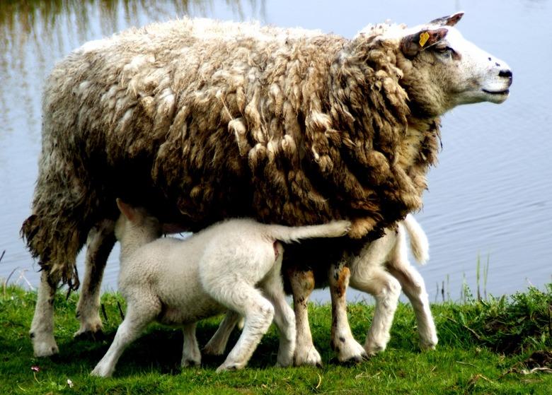 lammetjes - Moederschaap die haar lammetjes voedt
