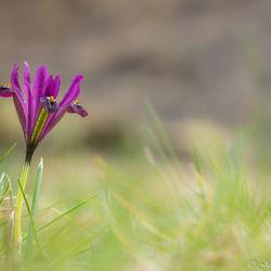 Mini-iris Sisyrinchium angustifolium