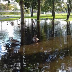 Wateroverlast creeert eendenzwemplek