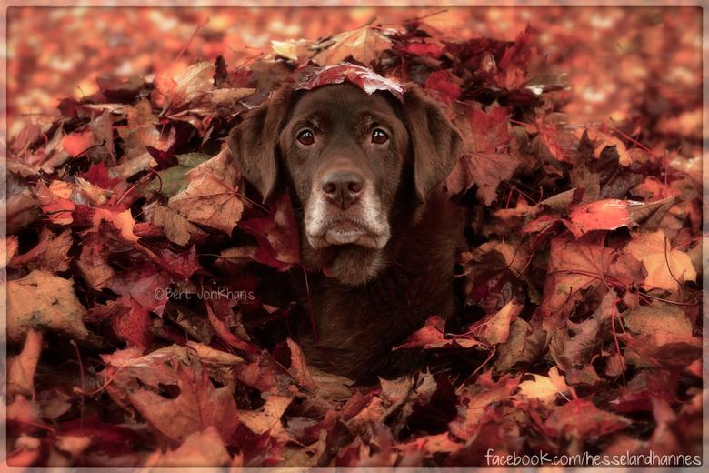 50 shades of Autumn #part2 - De tweede foto van mijn hond Millie tussen de herfstbladeren. Hier kan je goed zien dat ze geen puppie meer is, maar een