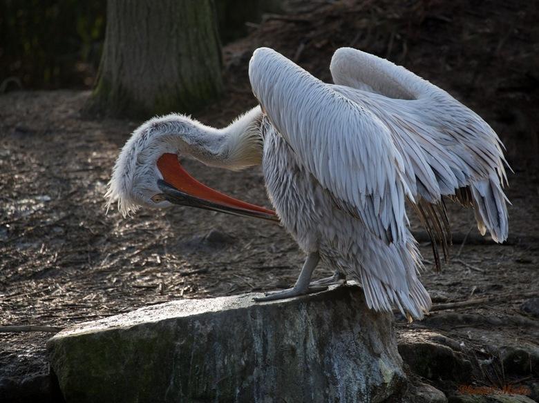 Kroeskoppelikaan - Het voedsel van de pelikaan bestaat uit vis, waarvan hij zeker 1 kg per dag nodig heeft. De vogels werken tijdens de jacht samen do