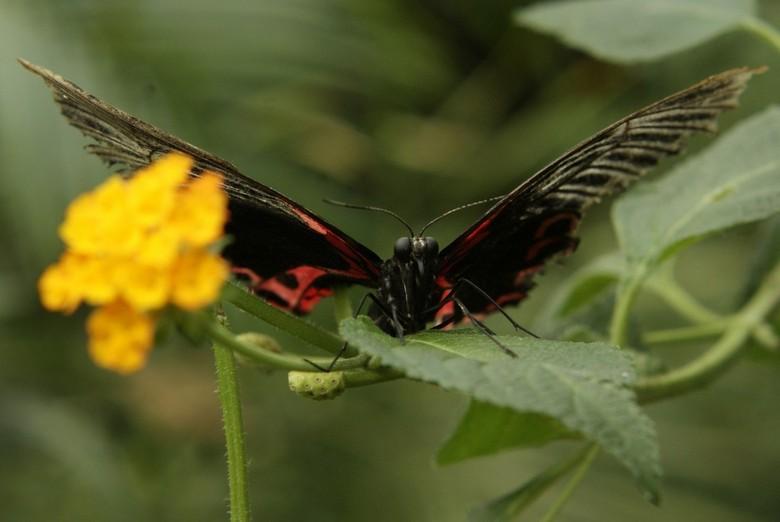 Vlinder - Vlinder in vlindertuin vlinders aan de Vliet in Leidschendam