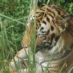 Luie tijger