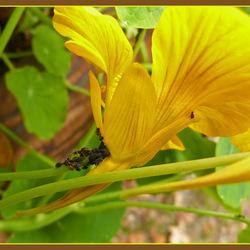 bladluizen en een mier??? op de oostindischekers